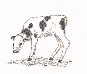 poorly calf drawing