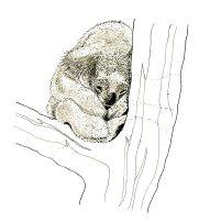 koala in a tree001