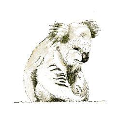 koala sad 01